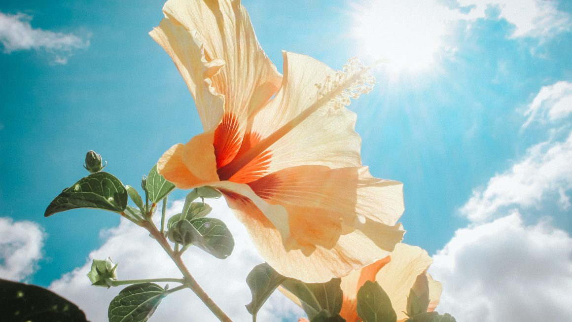 photography-of-yellow-hibiscus-under-sunlight-666839